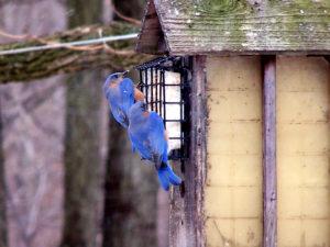 bluebirds-2